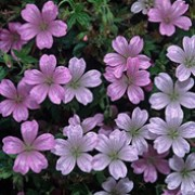 Geranium endressii added by Shoot)
