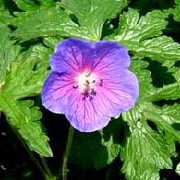 'Gravetye' is a mat-forming perennial with attractive lobed leaves and cup-shaped violet-blue flowers flushed reddish-purple around the white centre. Geranium himalayense 'Gravetye' added by Shoot)