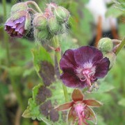 'Samobor' forms upright stems bearing quilted, scalloped, gray-green foliage with dark markings and chocolate-purple flowers. Geranium phaeum 'Samobor' added by Shoot)