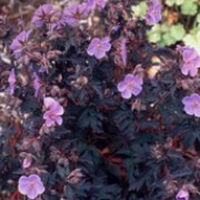 'Midnight Reiter' is a compact hardy geranium with deep purple leaves and dark lilac flowers in summer and autumn. Geranium pratense 'Midnight Reiter' added by Shoot)