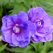 'Plenum Violaceum' is an herbaceous perennial with an upright, clump-forming habit.  It has green, lobed leaves.  In early summer it bears double, violet-blue flowers flushed purple towards the centre. Geranium pratense 'Plenum Violaceum' added by Shoot)
