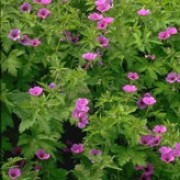 Geranium psilostemon added by Shoot)