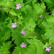 Geranium robertianum added by Shoot)