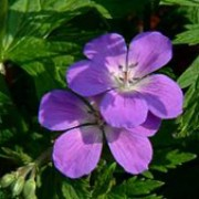 'Mayflower' is a herbaceous perennial with a compact habit.  Its green leaves are deeply divided with lobed segments.  In spring and summer it bears violet-blue flowers with white centres.  Geranium sylvaticum 'Mayflower' added by Shoot)