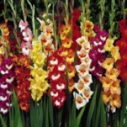 'Butterfly' is a popular colour mixed flower. Flowers are multi-colored and marked in bright reds, yellows and pinks. Petals are much ruffled. Gladiolus 'Butterfly' added by Shoot)