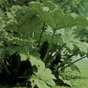 Gunnera manicata added by Shoot)