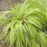 'Alboaurea' is a compact, clump-forming deciduous grass with narrow, arching, lance-shaped leaves striped green and yellow, flushed red in autumn and early winter. Hakonechloa macra 'Alboaurea' added by Shoot)