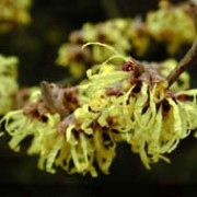 Hamamelis x intermedia 'Pallida' added by Shoot)