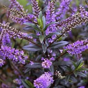 'Blue Clouds' is a small, evergreen shrub with glossy, dark-green narrow leaves, tinged purple in winter.  In  summer and autumn it bears small, light-blue spikes of flowers.  Hebe 'Blue Clouds' added by Shoot)