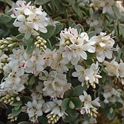 'Pagei' is a dwarf, mat-forming evergreen shrub with small, silvery-grey leaves and small, spikes of white flowers in late spring and early summer. Hebe pinguifolia 'Pagei' added by Shoot)