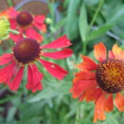 'Rubinzwerg' is an compact, clump-forming perennial with large, dark-centred, red flowers in summer. Helenium 'Rubinzwerg' added by Shoot)
