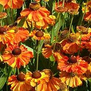 'Sahin's Early Flowerer' is a perennial with an erect habit. Its lance-shaped leaves are mid-green. In summer and autumn it bears orange daisies with dark centres. Helenium 'Sahin's Early Flowerer' added by Shoot)