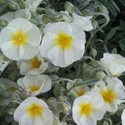 'The Bride' is a compact, spreading evergreen shrub with narrow, grey leaves and single, cream flowers with yellow center. Helianthemum 'The Bride' added by Shoot)