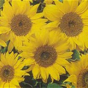 'Pacino' is a dwarf sunflower with open branches bearing bright-yellow flowers with small centres in summer. Helianthus annuus 'Pacino' added by Shoot)