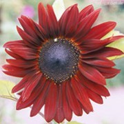 'Prado Red' is large annual plant grown for its dramatic, large daisy-like flower heads in shades of red in summer. Sunflowers are popular plants for children to grow and attractive to bees and birds. Helianthus annuus 'Prado Red' added by Shoot)