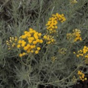 Helichrysum italicum added by Shoot)