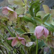 Helleborus orientalis added by Shoot)