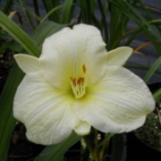 Hemerocallis 'Joan Senior'