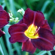 'Purple Rain Dance' is a striking, bold, sturdy daylily with dark maroon-purple flowers with a yellow throat. Hemerocallis 'Purple Rain Dance' added by Shoot)