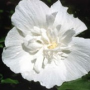 'White Chiffon' is a vigorous, deciduous shrub with dark-green, lobed leaves.  From late summer to autumn it bears pure white, full flowers.  Hibiscus syriacus 'White Chiffon' added by Shoot)