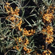 Hippophae rhamnoides added by Shoot)