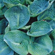 'Big Daddy' is a clump-forming perennial with broad, heart-shaped, puckered leaves, and greyish-white flower spikes in summer. Hosta 'Big Daddy' added by Shoot)