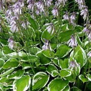 'Francee' is a clump-forming perennial with heart-shaped, strongly veined mid-green leaves, finely edged with white. Funnel-shaped lavender flowers form on stems. Hosta 'Francee' added by Shoot)