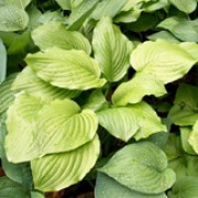 'Honeybells' is a herbaceous perennial with a clump-forming habit.  Its broadly heart-shaped leaves are light-green.  In summer it bears fragrant, white or pale-lilac flowers on erect stems. Hosta 'Honeybells' added by Shoot)