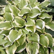 'Shade Fanfare' is a perennial with a clump-forming habit.  Its rounded, heart-shaped leaves are light-green and edged with creamy-white.  In summer it bears lavender flowers on erect leafy stems.
