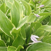 'So Sweet' is a clump-forming perennial with pale-green leaves with a broad greenish-white margins and pale-purple flowers. Hosta 'So Sweet' added by Shoot)