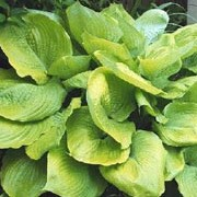 'Sum and Substance' is a clump-forming perennial with broad heart-shaped, yellow-green leaves and tall stems bearing pale lilac, bell-shaped flowers in summer. Hosta 'Sum and Substance' added by Shoot)