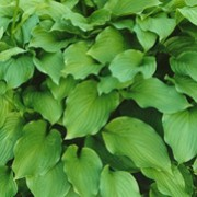 var. erromena is a herbaceous perennial with a compact, clump-forming habit.  Its ovate leaves are rich-green.  In summer it bears funnel-shaped, light-violet flowers on erect, leafy stems.