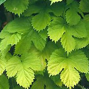'Aureus' is a vigorous climber with yellow, deeply lobed leaves and drooping cone-like, greenish-yellow, aromatic  flower clusters (on female plants) followed by attractive hops. Humulus lupulus 'Aureus' added by Shoot)