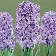 'Blue Star' is a bulbous perennial with spikes of blue, bell-shaped, fragrant flowers in spring. Foliage is strap-shaped and erect, forming at the base of the plant. Hyacinth 'Blue Star' added by Shoot)