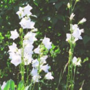 'Alba' has llinear leaves and stems bearing arching racemes of fragrant, narrowly tubular, white flowers in spring. Hyacinthoides non-scripta 'Alba' added by Shoot)