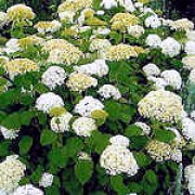 'Annabelle' is a small shrub with oval leaves and very large, spherical heads of white flowers. Hydrangea arborescens 'Annabelle' added by Shoot)
