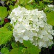'Grandiflora' is a small, bushy, deciduous shrub with ovate green leaves.  In summer it bears white flowers in rounded flower-heads.  Hydrangea arborescens 'Grandiflora' added by Shoot)