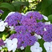 'Macrophylla' is a lax, mid-sized, deciduous shrub with large, hairy, ovate dark-green leaves.  In summer it bears small, blue-mauve flowers in flat flower-heads surrounded by white florets. Hydrangea aspera 'Macrophylla' added by Shoot)