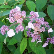 Villosa Group is a large deciduous shrub with velvety leaves and pale-mauve, flat flower-heads with white florets in late summer. Hydrangea aspera Villosa Group added by Shoot)