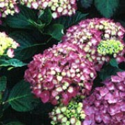 'Ami Pasquier' is a small, deciduous shrub with ovate, dark-green leaves.  In summer it bears clusters of deep crimson or purplish-red sterile flowers. Hydrangea macrophylla 'Ami Pasquier' added by Shoot)