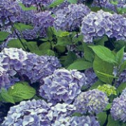 'Générale Vicomtesse de Vibraye' is a small, bushy deciduous shrub with broadly ovate dark-green leaves. In summer it bears large heads of clear pink flowers (or blue in acid soils). Hydrangea macrophylla 'Générale Vicomtesse de Vibraye' added by Shoot)
