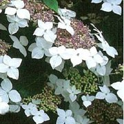 'Lanarth White' is a small, bushy, deciduous shrub with broadly ovate dark-green leaves.  In summer it bears flattened lace-cap flower heads with pink or blue central sterile florets surrounded by white ray-florets. Hydrangea macrophylla 'Lanarth White' added by Shoot)