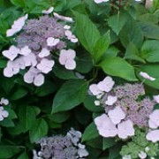 'Mariesii Perfecta' is a small, bushy, deciduous shrub with shiny, light-green leaves.  In summer it bears 'Lace-cap' flower-heads with blue flowers surrounded by large, blue or pink ray florets - colour depends on soil conditions. Hydrangea macrophylla 'Mariesii Perfecta' added by Shoot)