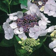 'Veitchii' is a small, bushy, deciduous shrub with glossy, dark-green ovate leaves.   In summer it bears 'Lace-cap' flowerheads with small blue flowers surrounded by large white florets which become pink with age. Hydrangea macrophylla 'Veitchii' added by Shoot)
