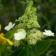 'Kyushu' is an upright, deciduous shrub with slightly glossy, dark-green, ovate leaves.  From late summer to mid-autumn it bears slender, conical flowerheads of  creamy-white florets.  Hydrangea paniculata 'Kyushu' added by Shoot)