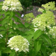 'Limelight' is an upright, deciduous shrub with slightly glossy, dark-green, ovate leaves. From late summer to mid-autumn it bears slender, conical flowerheads of lime-green to creamy-white florets. Hydrangea paniculata 'Limelight' added by Shoot)