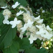 'Praecox' is a large, deciduous shrub with ovate, glossy, dark-green leaves.   From early summer it bears large, conical panicles of creamy-white flowers.   Hydrangea paniculata 'Praecox' added by Shoot)