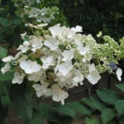 'Unique' is a mid-sized deciduous shrub with ovate, glossy, dark-green  leaves.  From late summer it bears massive, broadly conical panicles of large white flowers ageing to purplish-pink. Hydrangea paniculata 'Unique' added by Shoot)