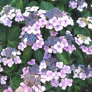 'Bluebird' is a small, deciduous shrub with ovate, mid-green leaves turning dark-red in autumn.  In summer and autumn it bears flattened 'Lace-cap' flower-heads with blue flowers surrounded by large pale-pink florets (pale-blue in acid soils).  Hydrangea serrata 'Bluebird' added by Shoot)