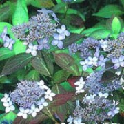'Tiara' is a small, compact deciduous shrub with reddish-purple foliage.  In early and mid-summer it bears 'lace-cap' flowerheads of pale-blue flowers surrounding deeper blue ones. Hydrangea serrata 'Tiara' added by Shoot)